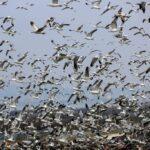 Inilah burung camar: geografi burung dari tempat pembuangan sampah